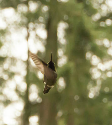 Photograph - Dancing Hummingbird by Marilyn Wilson