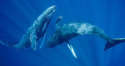Humpback Whale Photograph - Dancing Humpback Whales by Flip Nicklin
