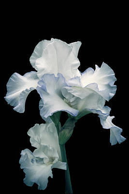 Photograph - Dancing Iris by Mike Stephens