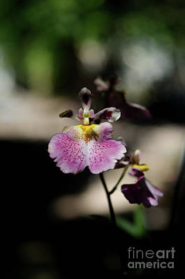 Photograph - Dancing Lady Orchid by Michelle Meenawong