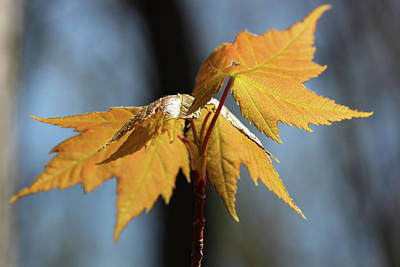 Photograph - Dancing Maple Leaves by Mary Bedy