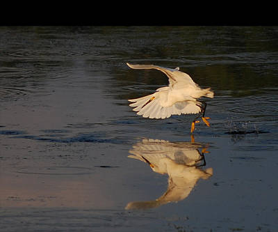 Photograph - Dancing On The Water - Snowy Egret by rd Erickson