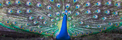 Animal Behavior Photograph - Dancing Peacock, India by Panoramic Images