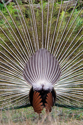 Animal Behavior Photograph - Dancing Peacock, Kanha National Park by Panoramic Images