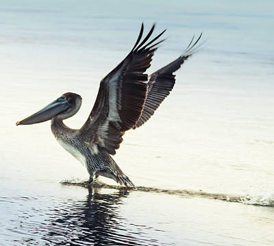 Photograph - Dancing Pelican by Debra Forand