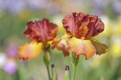 Photograph - Dancing Rill. The Beauty Of Irises by Jenny Rainbow