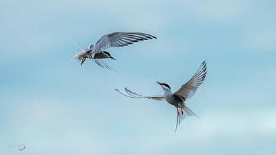 Photograph - Dancing Terns by Torbjorn Swenelius