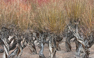 Photograph - Dancing Trees by Hitendra SINKAR