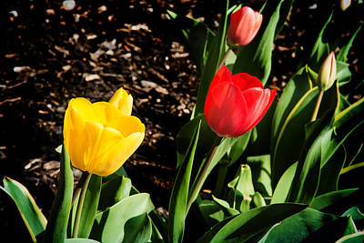 Photograph - Dancing Tulips by Milena Ilieva