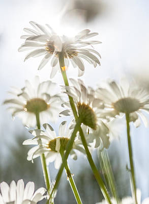 Photograph - Dancing With Daisies by Aaron Aldrich
