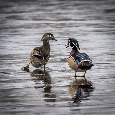 Drake Photograph - Dancing Wood Ducks by Paul Freidlund