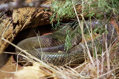 Photograph - Dandarabilla The Inland Taipan by Miroslava Jurcik