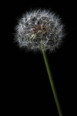 Photograph - Dandelion 1 by James Sage