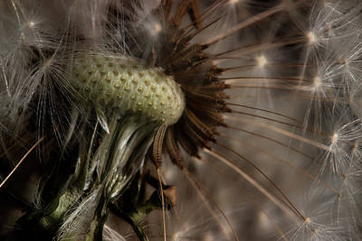 Photograph - Dandelion 2 by Mike Eingle