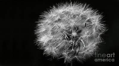 Dandelion 2016 Black And White Dark Art Print by Karen Adams
