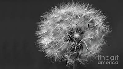 Photograph - Dandelion 2016 Black And White by Karen Adams