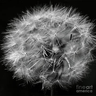 Springflowers Photograph - Dandelion 2016 Black And White Square by Karen Adams