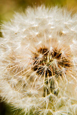 Photograph - Dandelion - 3 by Barry Jones