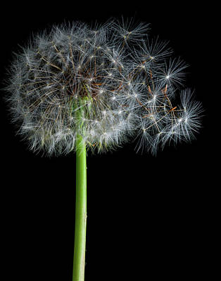 Photograph - Dandelion 3 by James Sage
