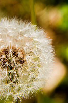 Photograph - Dandelion - 4 by Barry Jones