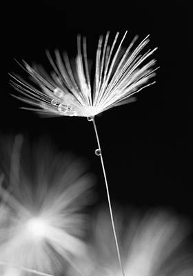 Flower Photograph - Dandelion And Water Drops by Lise-Lotte Larsson