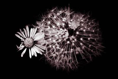 Dandelion And Daisy Art Print by Grebo Gray
