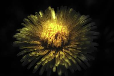 Photograph - Dandelion And Light by Sherman Perry