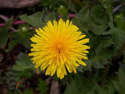 Photograph - Dandelion by Angi Parks