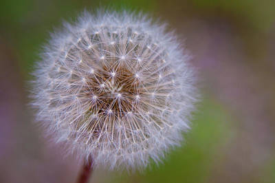 Photograph - Dandelion by April Reppucci