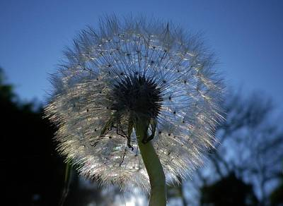 Photograph - Dandelion At Dusk by Richard Brookes