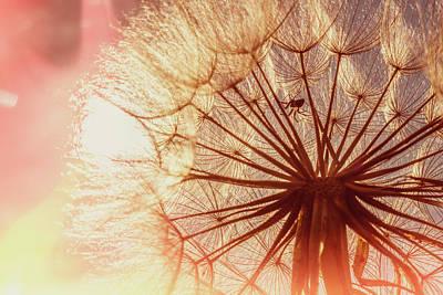 Photograph - Dandelion At Sunrise by Garry McMichael