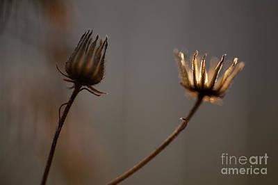 Photograph - Dandelion Back Lit  by Jim Corwin