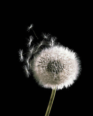 Grass Roots Digital Art - Dandelion by BONB Creative