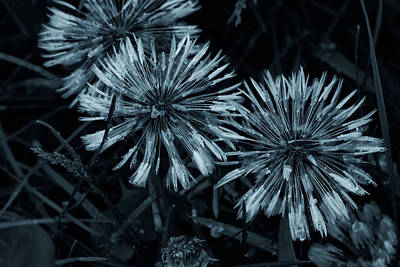 Photograph - Dandelion Blues by Susan Capuano