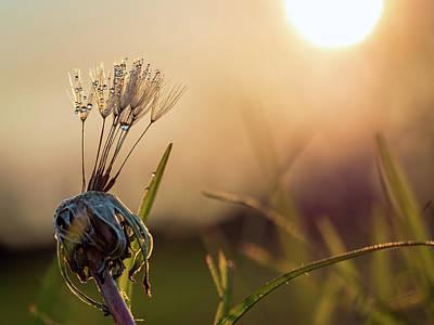 Photograph - Dandelion  by Brad Boland