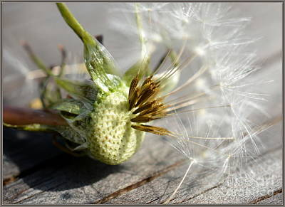 Photograph - Dandelion  by Brenda Bostic