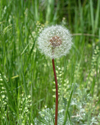 Photograph - Dandelion by Brian Stricker