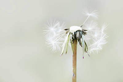 Photograph - Dandelion by Cindy Grundsten