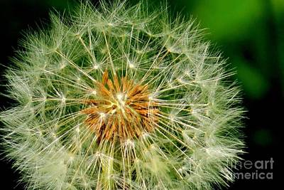 Photograph - Dandelion Clock by Frank Townsley