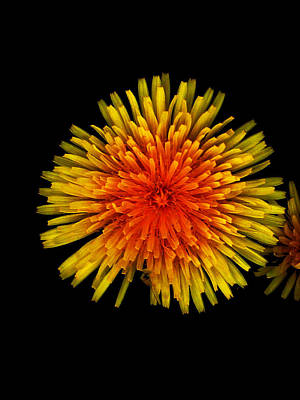 Photograph - Dandelion Contrast by Dylan Punke