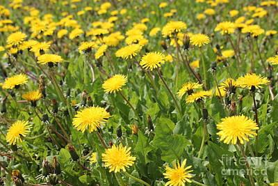 Photograph - Dandelion Crop 2 by Donna L Munro