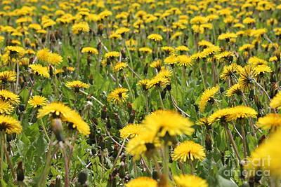 Photograph - Dandelion Crop by Donna L Munro