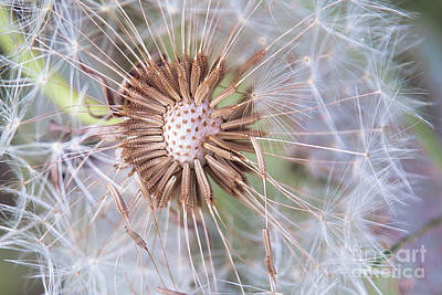 Photograph - Dandelion Delicacy by Sharon McConnell