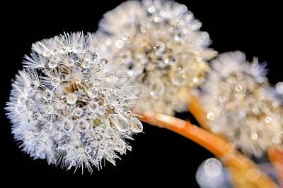 Photograph - Dandelion Dew by Nadia Sanowar