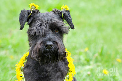 Canine Earrings Photograph - Dandelion Dog by Ferenc Kosa