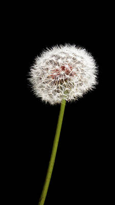 Photograph - Dandelion by Dustin Ahrens