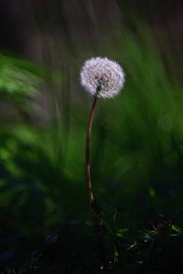 Photograph - Dandelion by Edoardo Gobattoni