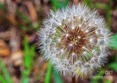 Photograph - Dandelion Explosion by Gene Berkenbile