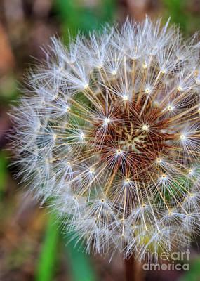 Photograph - Dandelion Explosion II by Gene Berkenbile