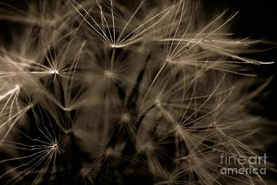 Black And White Photograph - Dandelion Fireworks by Clare Bevan